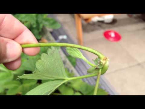 Reproducción de planta de fresa