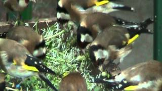 Goldfinches in my aviary