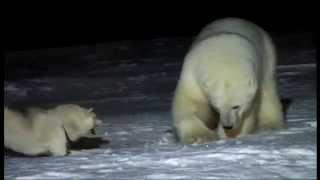 getlinkyoutube.com-Urso polar vs cão husky siberiano
