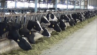 getlinkyoutube.com-Tour of modern, expanding dairies in China
