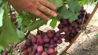 getlinkyoutube.com-Фаетон - гібридна форма винограду. Селекціонер Писанка Олег Михайлович