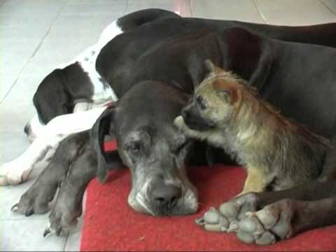 Cairn Terrier Puppy Playing With Great Dane