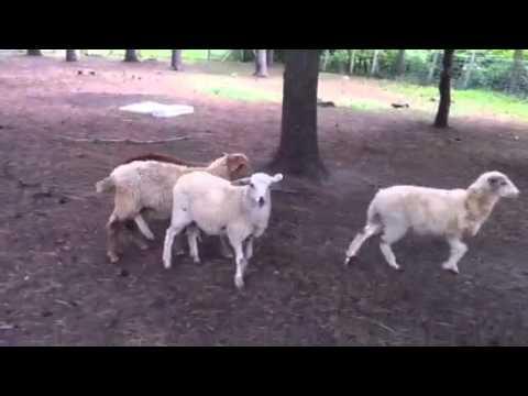Awassi / Assaf dairy sheep