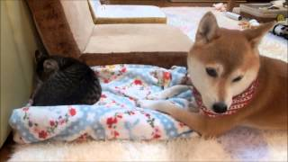 getlinkyoutube.com-子猫に片思いな柴犬 Shiba Inu love the kitten