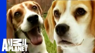 The Beloved Hound: The Beagle | Dogs 101 width=