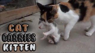 getlinkyoutube.com-Momma Cat Carries Baby Kitten