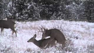 getlinkyoutube.com-Rutting Buck
