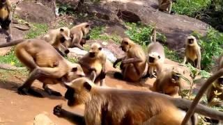 getlinkyoutube.com-Funny Monkey Dance in India Video 2017