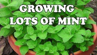 getlinkyoutube.com-All About Growing Mint