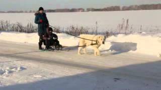 getlinkyoutube.com-тренировка среднеазиатской овчарки - ездовая (собака питомника ТИМЕРТАШ)