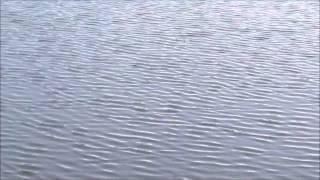 Loons at Flour Lake