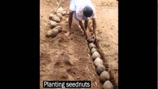 getlinkyoutube.com-Ideal nuts, Planting coconut nuts and nursery spacing