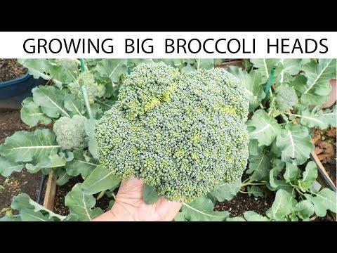 How To Grow Big Broccoli Heads - Growing Gypsy Hybrid Broccoli