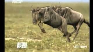 Wildest Africa on Animal Planet promo