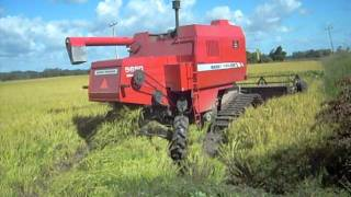 mf 5650 sr colhendo arroz .AVI