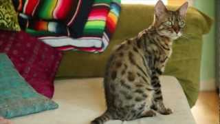getlinkyoutube.com-First Contact with our Bengal Cat