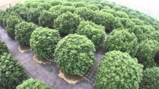 getlinkyoutube.com-Commercial Cannabis Grow - August 26 2015 (Drone Footage 1)