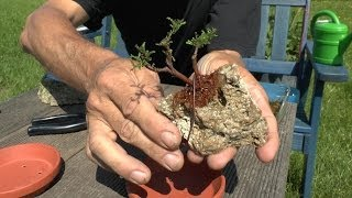 getlinkyoutube.com-Bonsai on the Rock. Calluna Zwergform, make a Bonsai Mame
