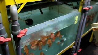 getlinkyoutube.com-Discus feeding skill at Lucky Tropical fish farm