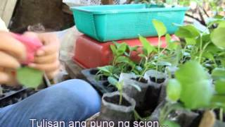 getlinkyoutube.com-Eggplant Grafting
