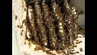 getlinkyoutube.com-Pszczoły - ciekawy przypadek