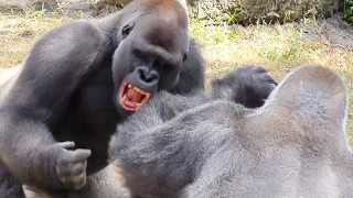 Gorilla Fight Club 2 UHD 4K FYV