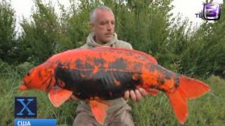 getlinkyoutube.com-Золотые рыбки-мутанты.