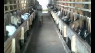 getlinkyoutube.com-Penggemukan Kambing Tanpa Rumput Hanya 3 Bulan sudah bisa di Panen