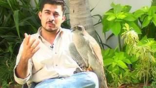 getlinkyoutube.com-Falconry in Pakistan, an introduction.