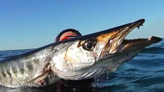getlinkyoutube.com-Monstre marin + de 100KG de Barracuda - Chasse sous marine 2016