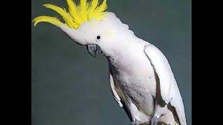 getlinkyoutube.com-Burung joget Goyang dumang. Lucu banget