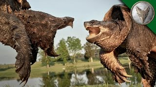 getlinkyoutube.com-Alligator Snapping Turtle vs Common Snapping Turtle