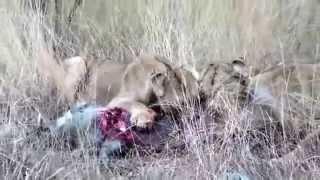 getlinkyoutube.com-なかなか絶命しないイノシシを食すライオン