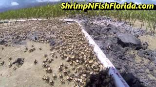getlinkyoutube.com-How To Catch Fiddler crabs, The Fiddler Crab Roundup Part 1 of 2