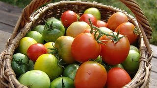 Четыре фактора, влияющие на урожай томатов