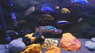 getlinkyoutube.com-Mixed African Cichlids Aquarium  HD