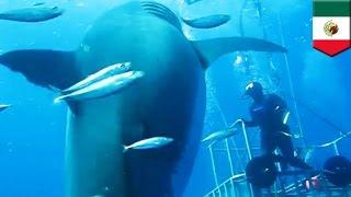 getlinkyoutube.com-世界最大!?体長6M以上のホホジロザメ映像が公開 メキシコ