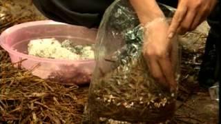 getlinkyoutube.com-kỹ thuật trồng nấm sò