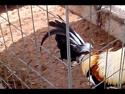 gallos americanos recien traidos