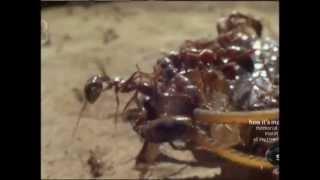 getlinkyoutube.com-Swarming Army Ants in Africa