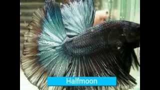 getlinkyoutube.com-Jenis Ikan Cupang Hias