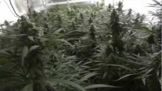 getlinkyoutube.com-Site M - Blue Dream Cannabis Grow - Day 43 of Flower