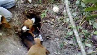 getlinkyoutube.com-cazando armadillo con beagle.mp4