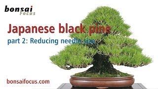 Japanese black pine PART 2 REDUCING THE NEEDLE SIZE