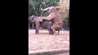 getlinkyoutube.com-Paarung Elefanten Berliner Zoo