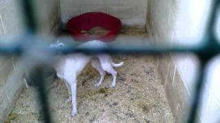 getlinkyoutube.com-All our hunting dogs terriers and lurchers