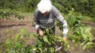 getlinkyoutube.com-Перепрививка маточно-черенкового сада ореха грецкого