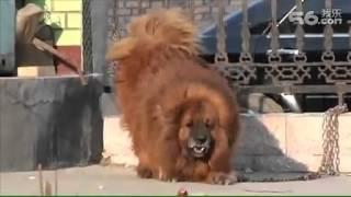 getlinkyoutube.com-اغلى و اشرس  كلب في العالم