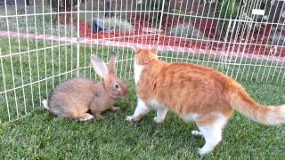 5 Flemish Giant Baby Bunnies Playing in the Grass