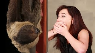 getlinkyoutube.com-A Girl Obsessed With Sloths Gets Surprised With A Sloth